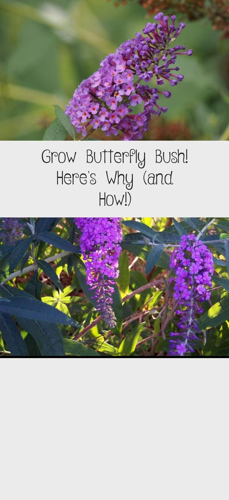 Grow Butterfly Bush! Here's Why (and How!) Learn why you