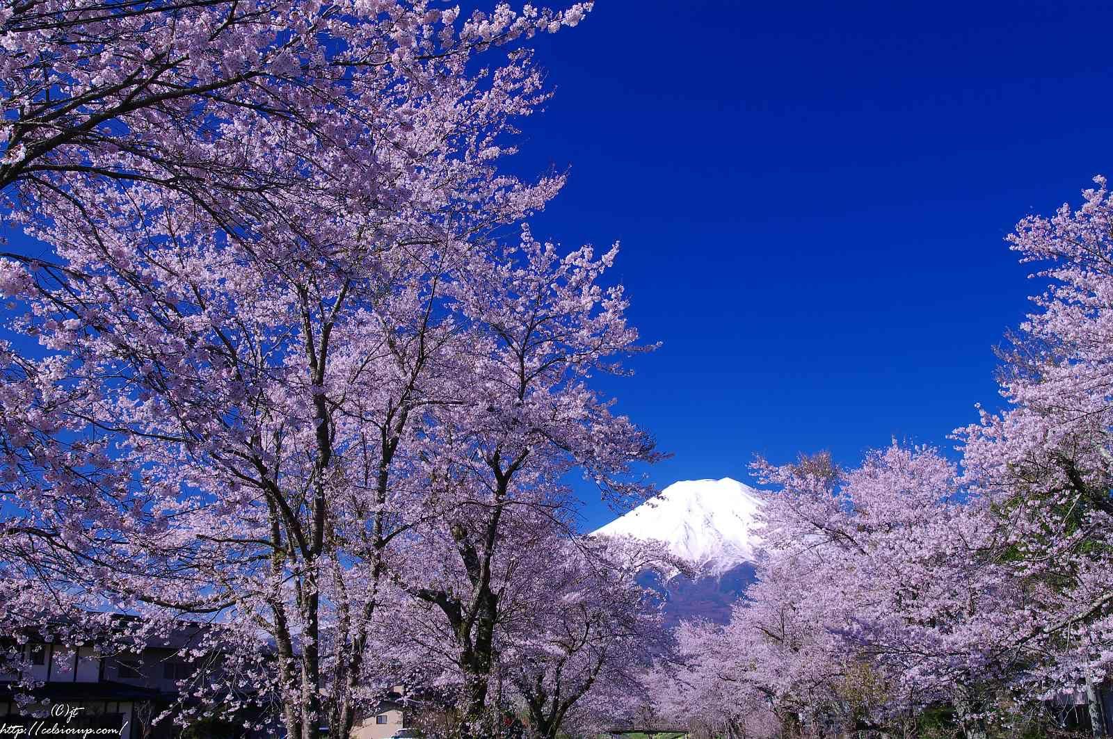 新名庄川沿いの桜