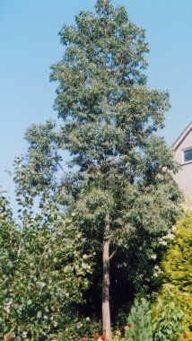 Eucalyptus Gunnii With Images Small Trees For Garden 400 x 300