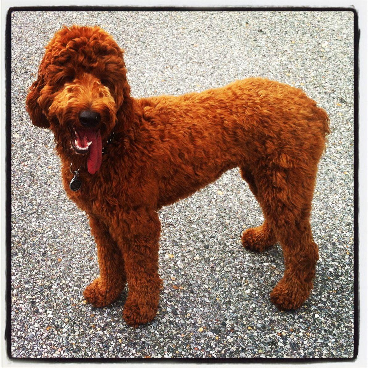 Irish Setter Standard Poodle