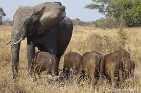 Resultado de imagen de manada de elefantes