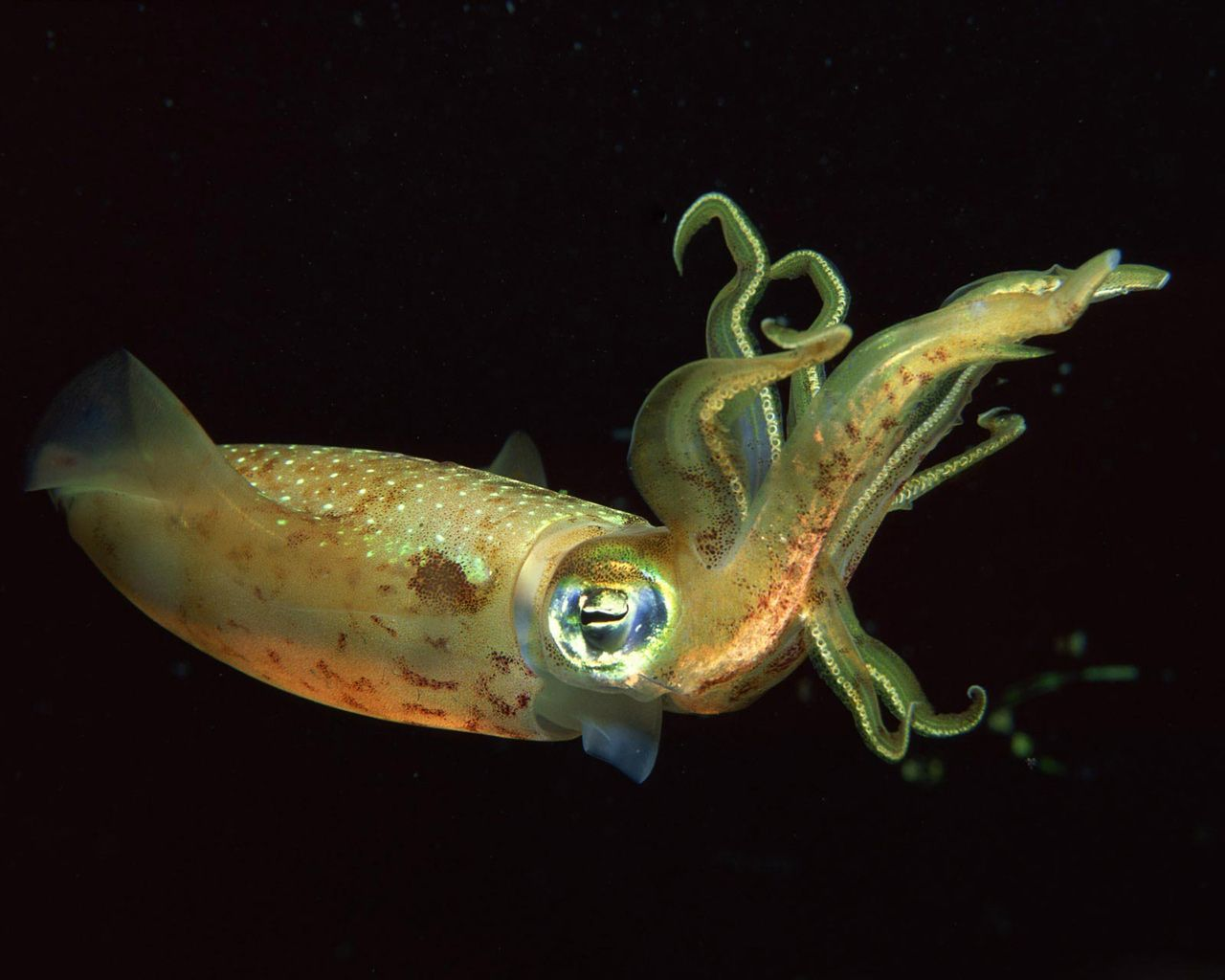 Image Detail For Deep Sea Squid Free Beautiful Wallpaper Download For Your Desktop Or Pics
