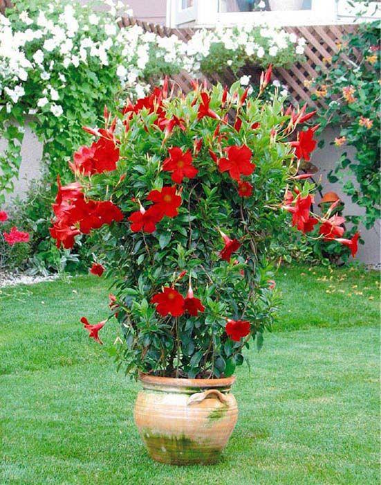 Sun Parasol Pretty Crimson Mandevilla Blooms Ferociously With 2 To 3