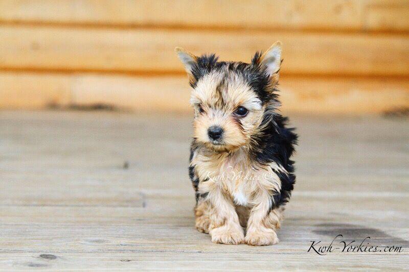 Gorgeous Blue Merle Yorkie Yorkie Dogs Puppy Exoticyorkies