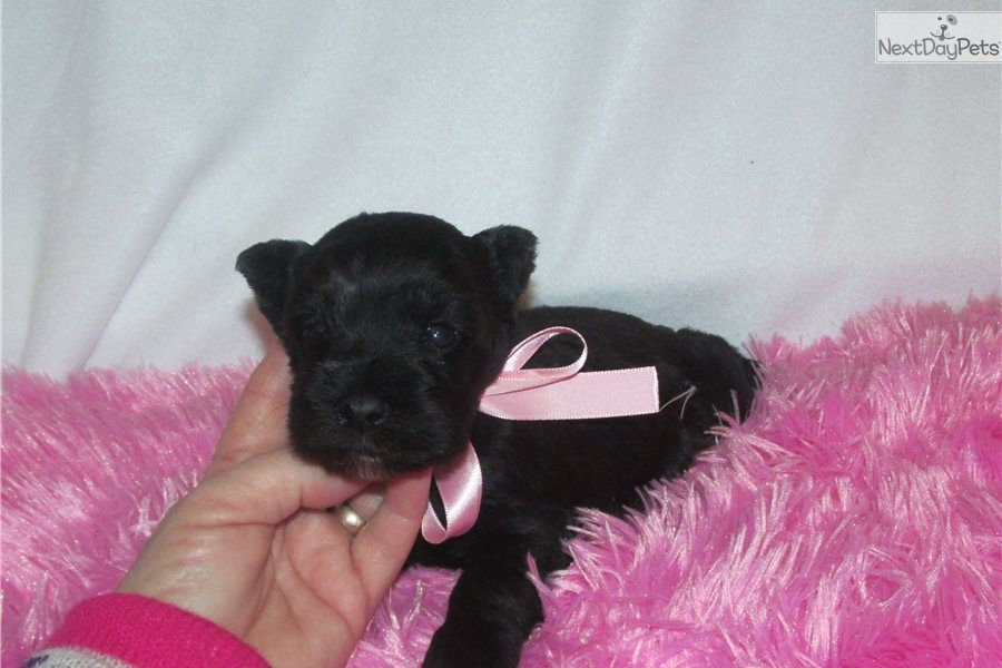 Renza Schnauzer Miniature Puppy For Sale Near Dallas Fort Worth Texas 39cdb809 6711 With Images Miniature Puppies