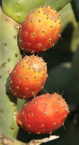 Prickly pears on a cactus near the Basilica of St John Selcuk Turkey