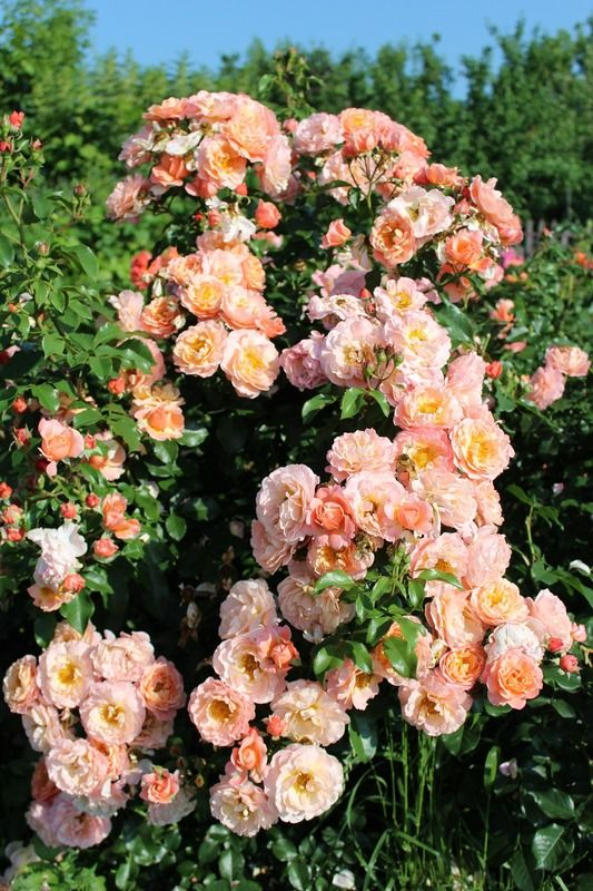 39 marie curie 39 rose photo english roses pinterest marie curie gardens and flowers. Black Bedroom Furniture Sets. Home Design Ideas