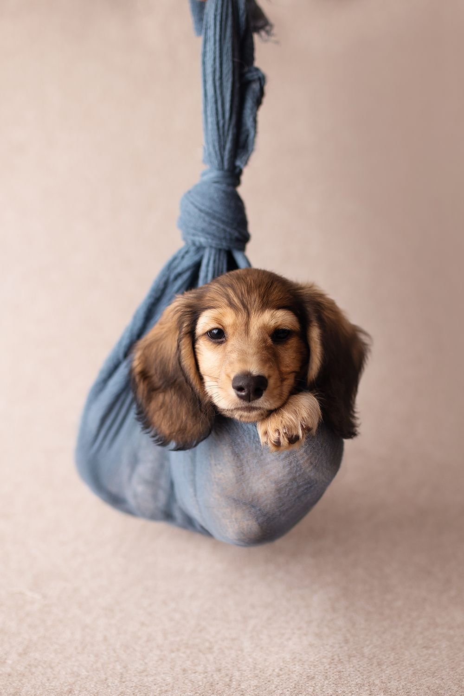 Toronto Dog Photographer Adorable Dachshund Puppy Photoshoot Idea