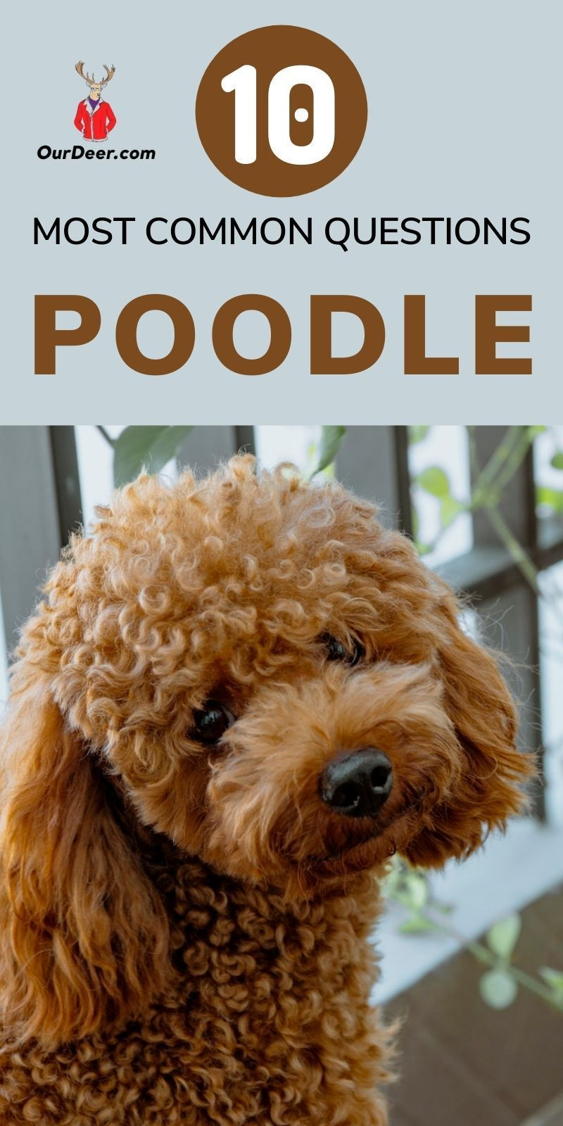The Poodle may be one of the most misunderstood breeds, as many people will think only of a show Poodle that is trimmed and dainty. #Poodle #PoodlePuppies #breedoverview #PoodlePuppy #PoodleTraining #PoodleHealth
