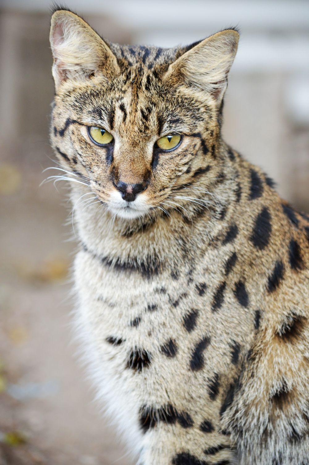 A1 Savannahs The Original Founder of The Savannah Cat