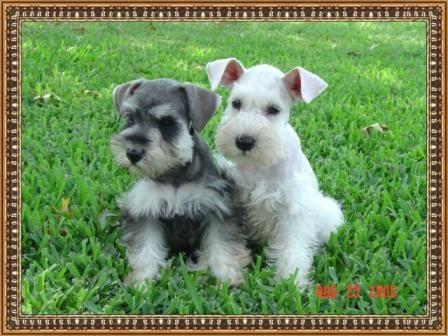Snowflake Schnauzers Miniature Schnauzer Puppies Miniature Schnauzer Puppies Schnauzer Miniature Schnauzer Schnauzer Breed