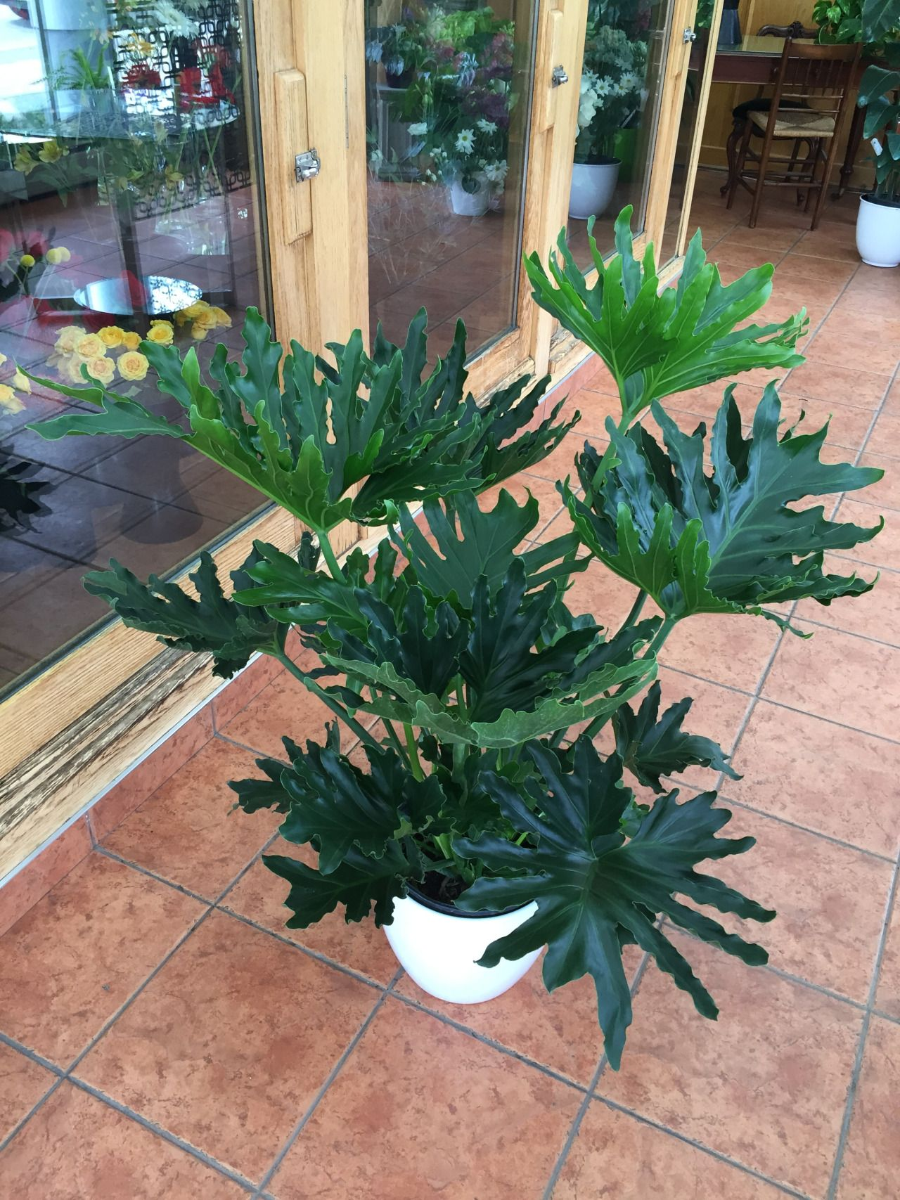 Selloum Hope Philodendron Indoor Plant Life Plants