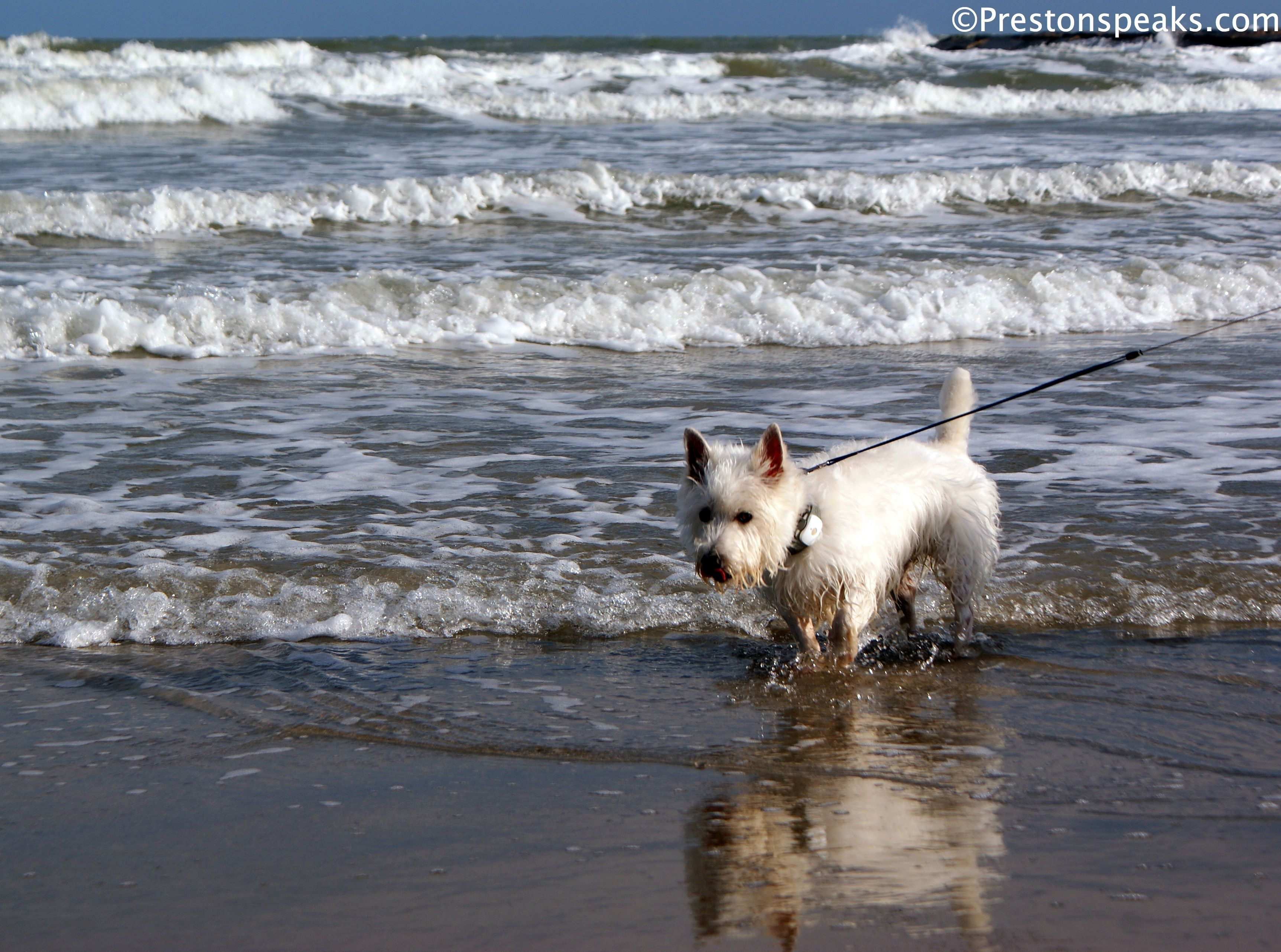 Preston From Prestonspeaks Com Enjoys The Day At Pet Friendly Galveston Beach Texas West Highland Terrier Pet Travel White Dogs