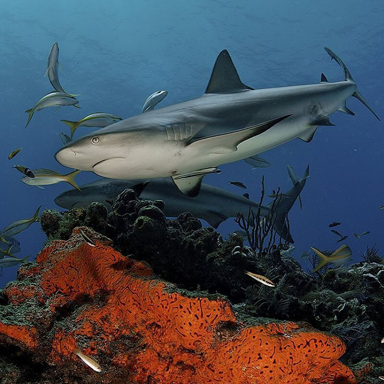 """Photo by @BrianSkerry Caribbean reef sharks swim over a coral reef in The Bahamas. Predators like sharks are essential to the health of reefs and their…"""