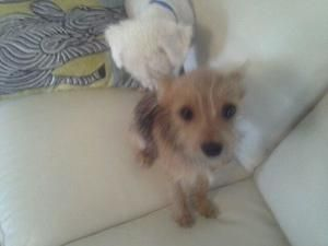 Adopt Milly On Yorkie Dogs Yorkie Mix Yorkshire Terrier