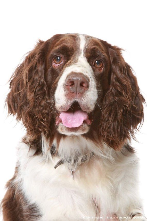English Springer Spaniel Liver And White Dog Head One 16 Inch Fabric Panel To Sew Actual Picture Is 8 X 11 On White Background Springer Spaniel Springer Spaniel Puppies Charles Spaniel