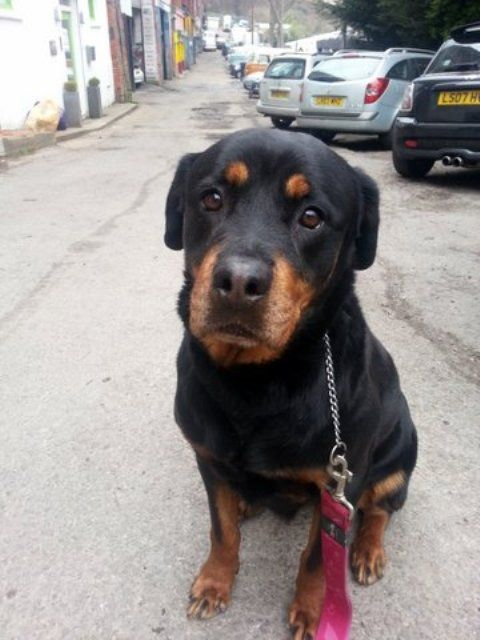 Rotty Dog Adoption Dogs Rottweiler Breed