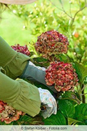 Hortensien zurückschneiden - Zeitpunkt und Anleitung