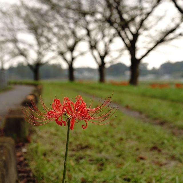 【abenz3776】さんのInstagramをピンしています。 《初秋の桜堤に紅一点 #flower #lily #september #autumn #vivid #red #clouds #さいたま市 #見沼用水 #埼玉県 #桜 #桜並木 #落葉 #jp #ヒガンバナ #彼岸花 #曼珠沙華 #jp #japan #bokeh》