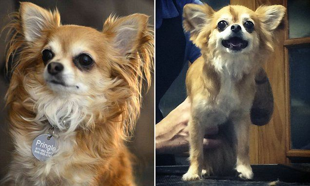 Femail Takes A Chihuahua To America S Legendary 600 Hr Pet