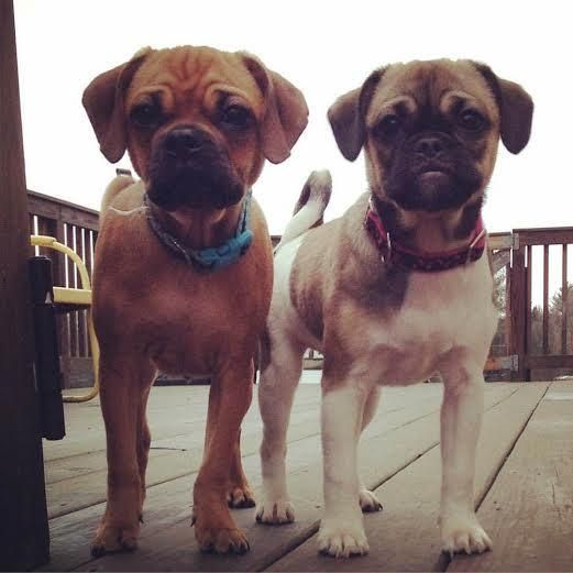 Adopt Puggle Females On Animals White Puppies Old Pug Pug