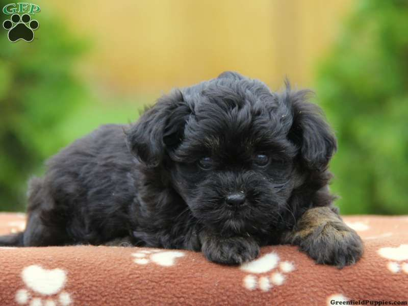 Treasure Havanese Puppy For Sale In Honey Brook Pa Havapoo Puppies Puppies Poodle Mix Dogs