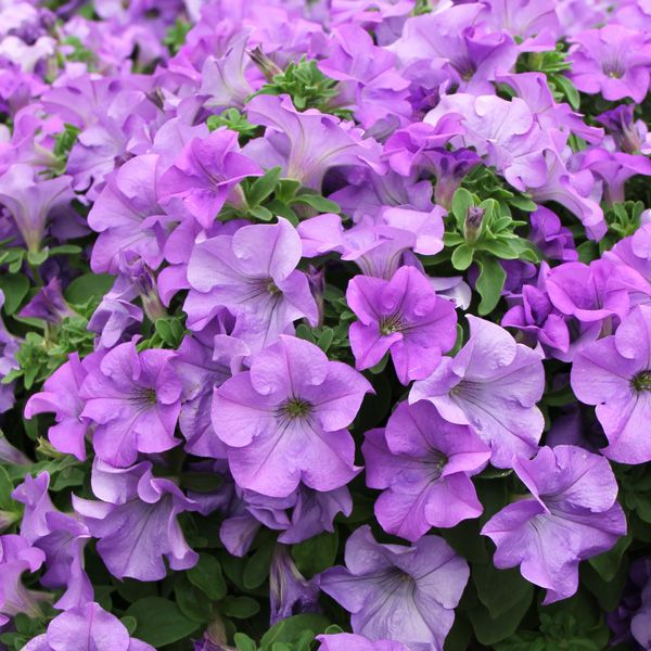 Petunia Surfinia Heavenly Blue With Images Petunias My