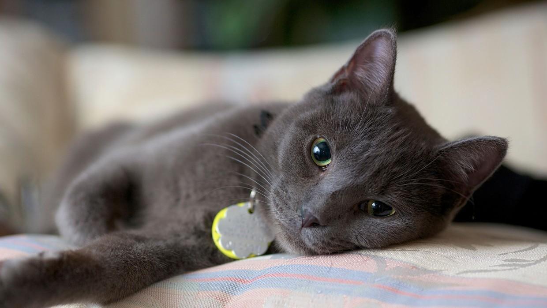 تفسير رؤية القطط في المنام Diabetes Cat Cats Lazy Cat