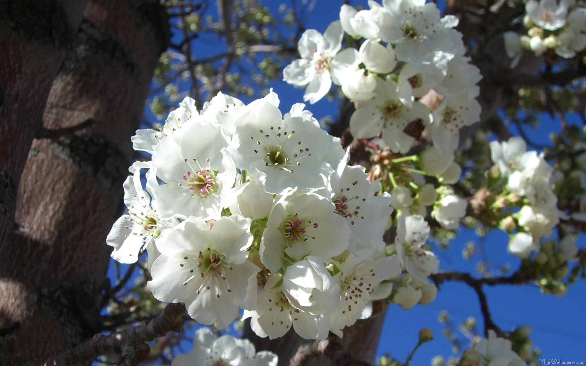 100 Tree With White Flowers That Smell Good Pinterest