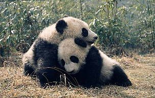 Facts about the Giant Panda Панда