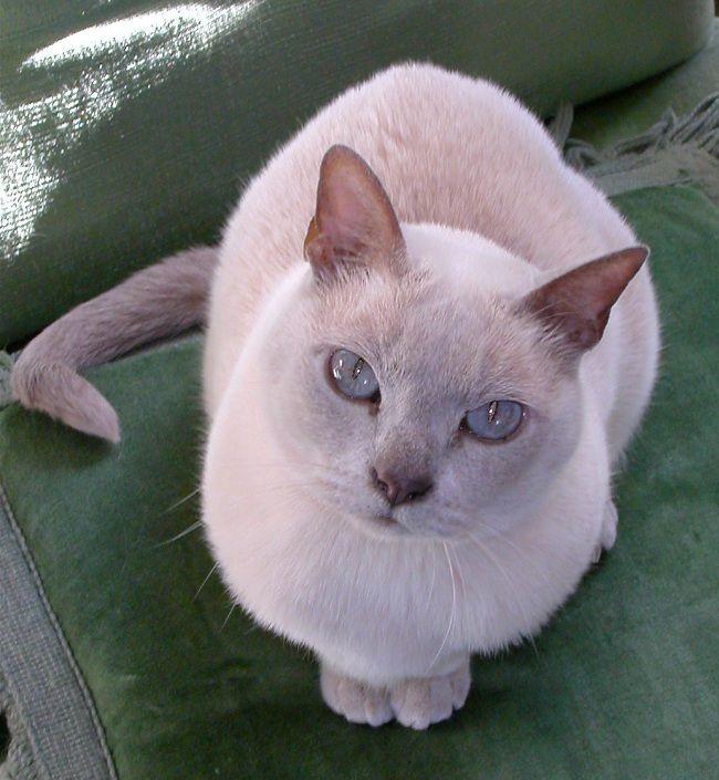 Pics For Platinum Burmese Cat Pets Photos Burmese Cat Tonkinese Cat Pets Cats