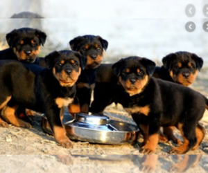 View Ad Rottweiler Litter of Puppies for Sale near Texas