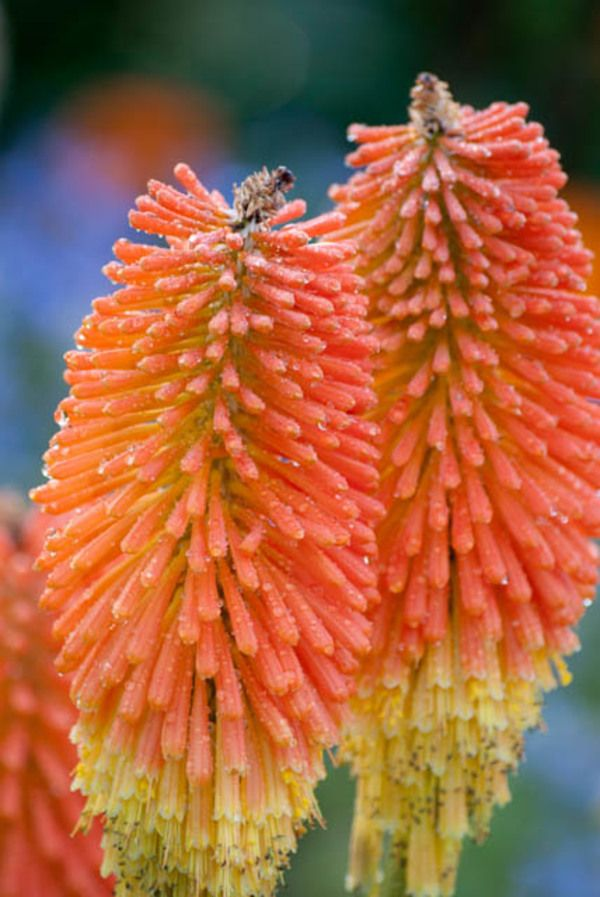 A most imposing kniphofia nobilis with long spikes of glowing orange a most imposing kniphofia nobilis with long spikes of glowing orange red tubular flowers gradually fading to yellow in late summer to early fall mightylinksfo