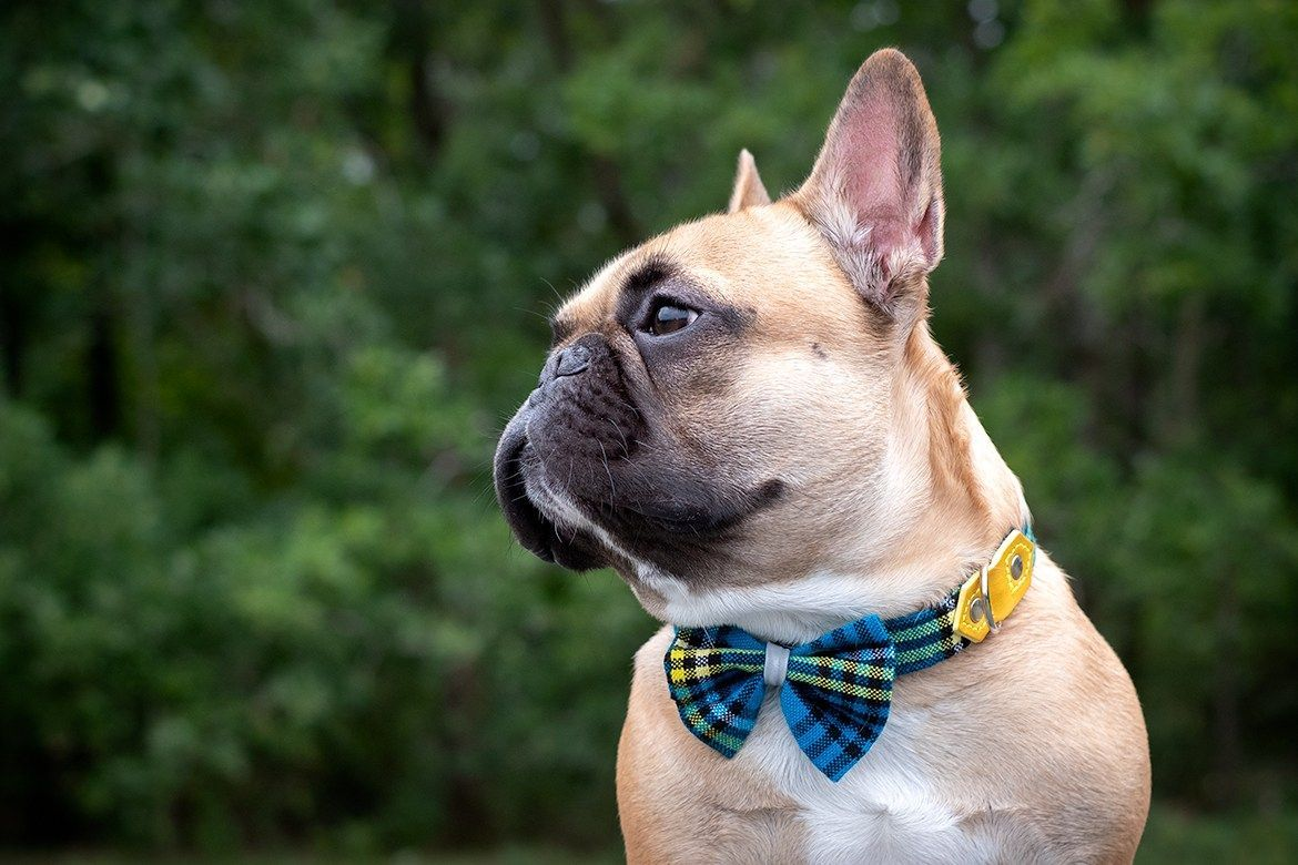 """""""My fawn Frenchie Bob D is so handsome in blue checked"""
