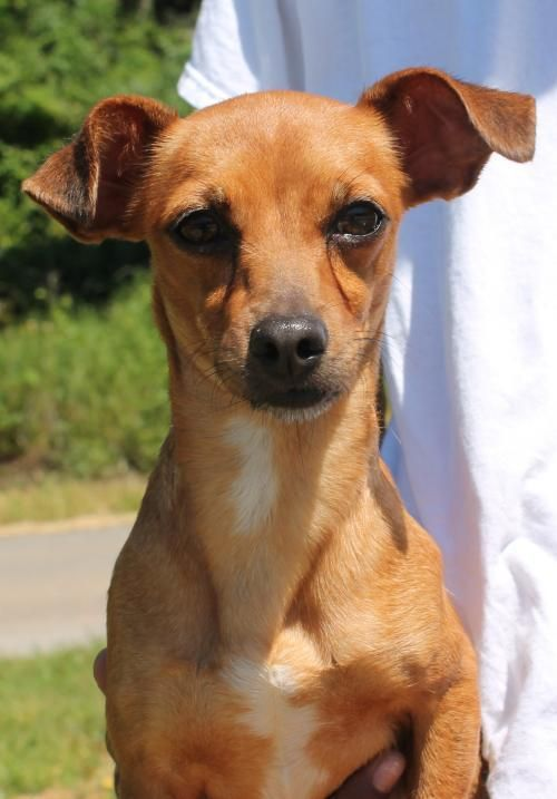 Meet Trixie 22334, a Petfinder adoptable Chihuahua Dog
