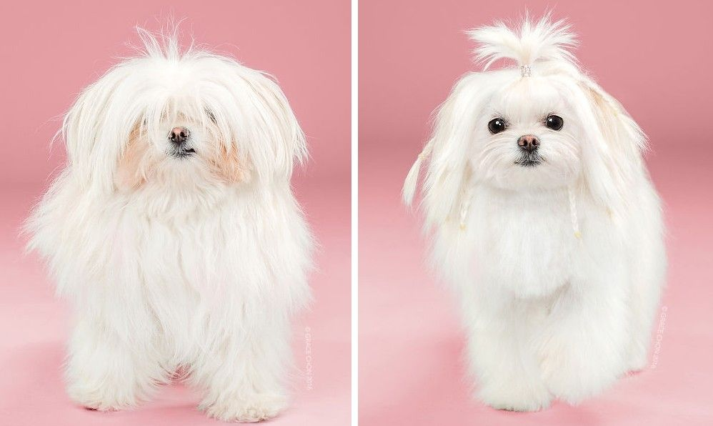 Avant/Après : quand les chiens passent chez le coiffeur, par Grace Chon