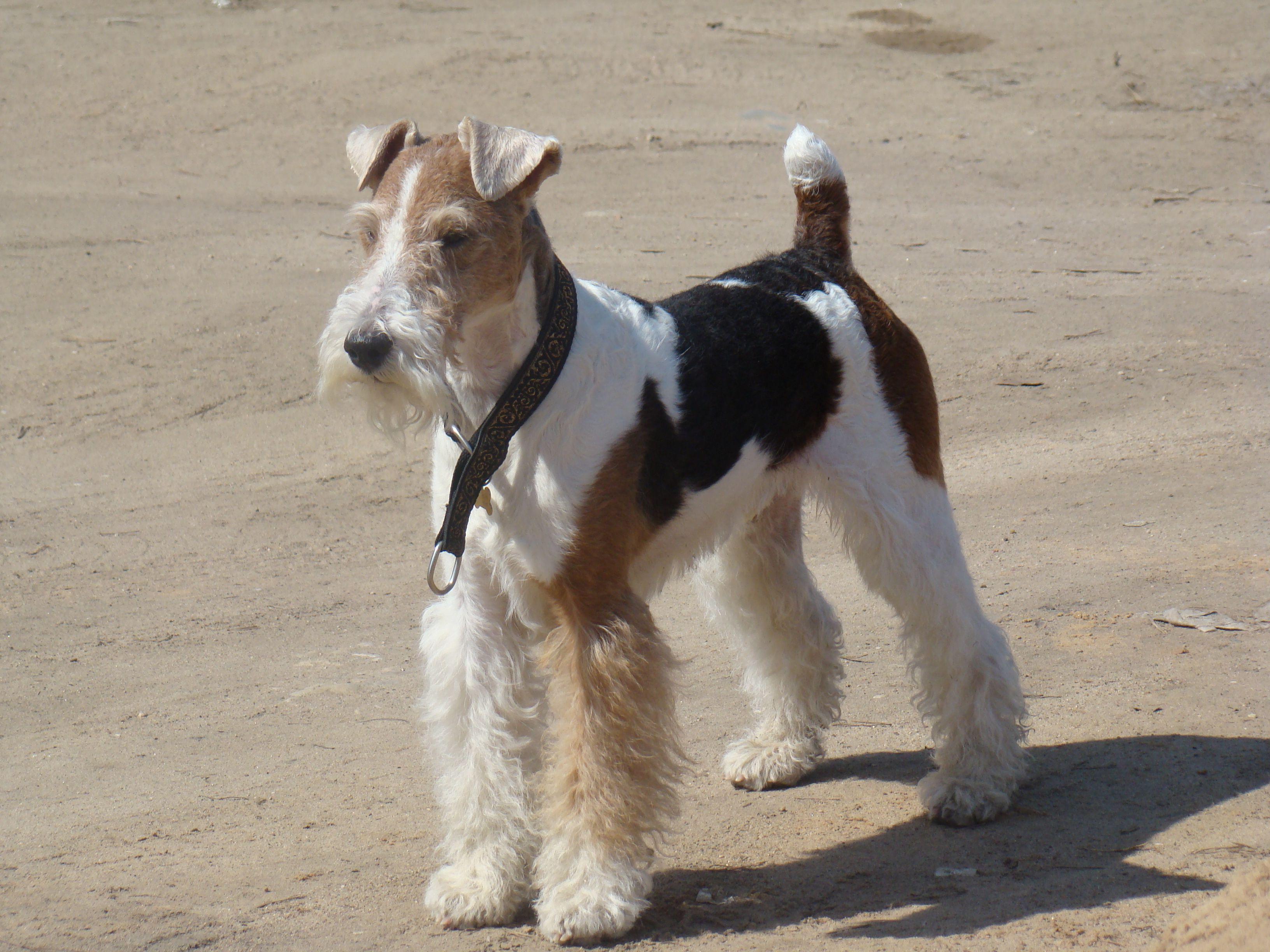 My wire fox terrier | Dogs | Pinterest | Fox Terrier, Wire Fox ...