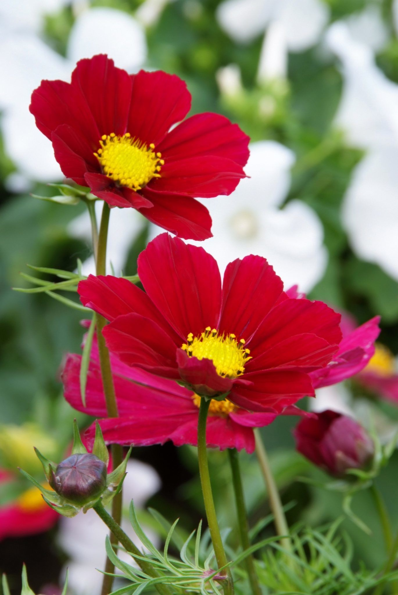 Pin by hng nguyn on cosmos flower pinterest cosmos and perennials perennials izmirmasajfo Gallery