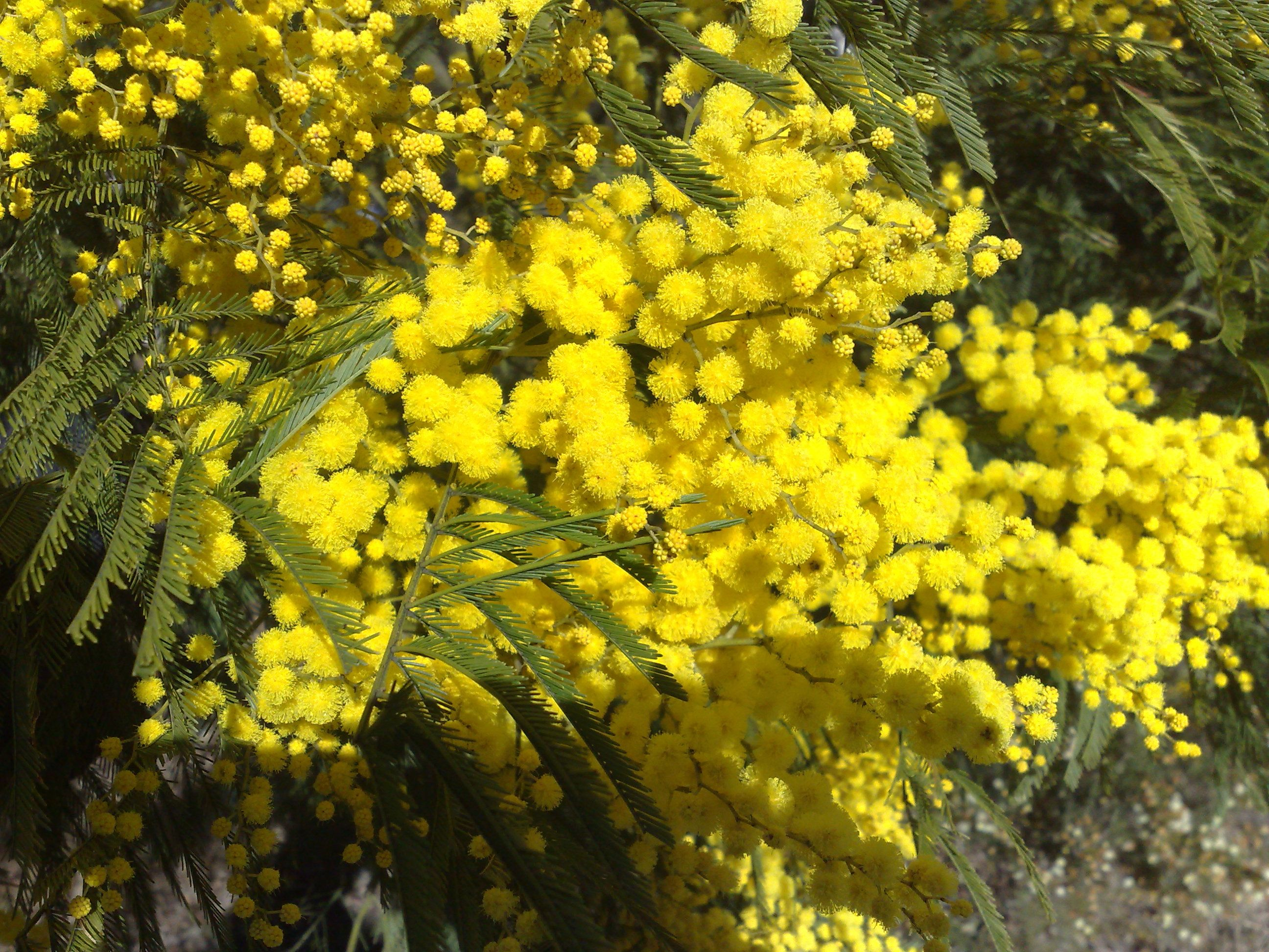 Acacia Flowers Clarence Plant Pictures Plants Flowers