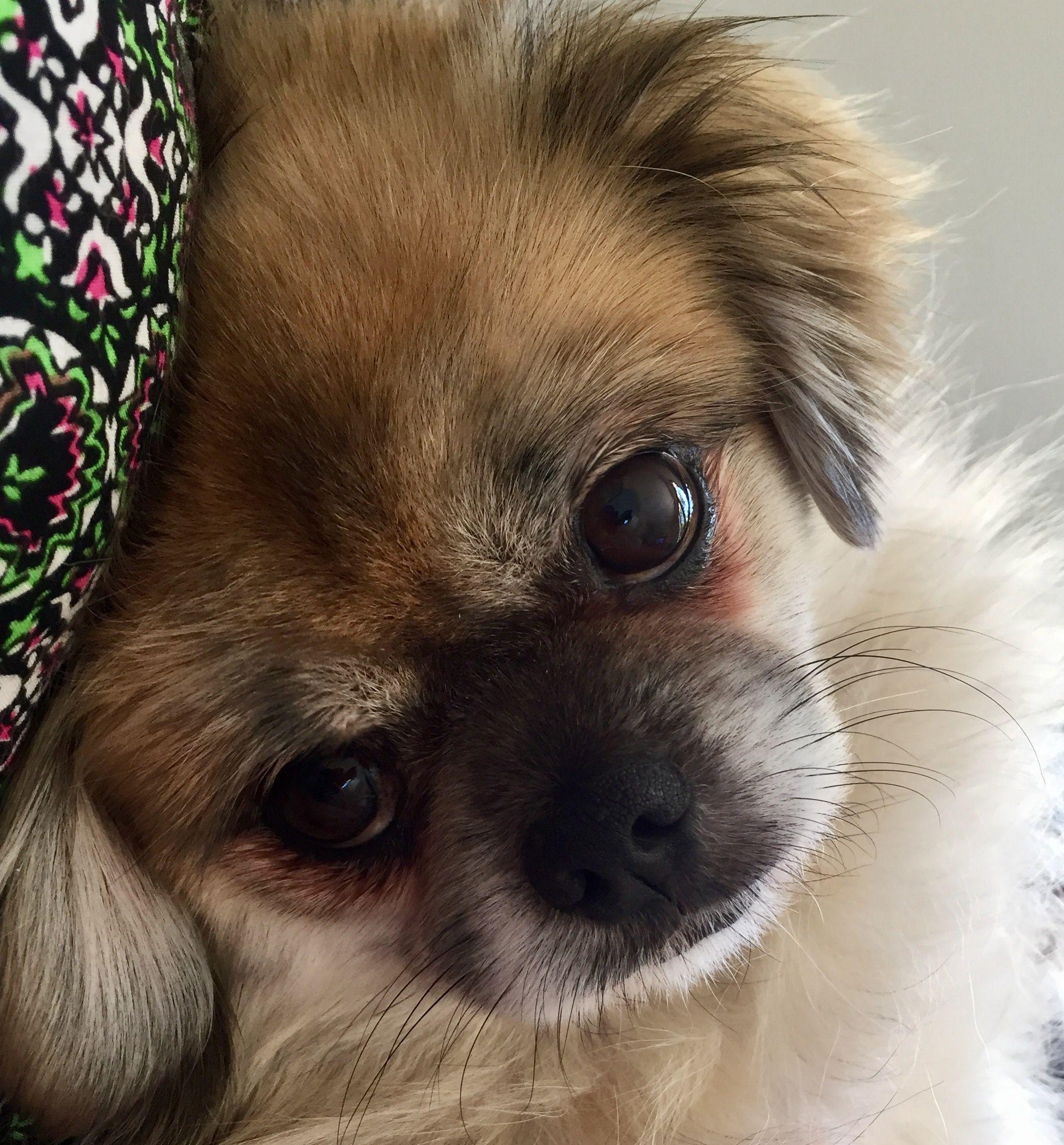Tibetan Spaniel Dog Breed Information With Images Tibetan
