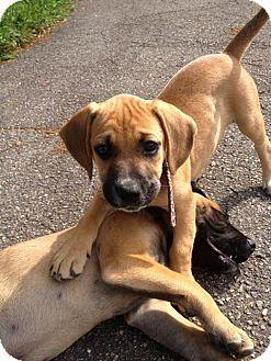 Daisy Female Boxer Mix Puppy Wnc Boxer Rescue Inc Arden Nc Http Www Wncboxerrescue Org Boxer Mix Puppies Puppies Boxer Rescue