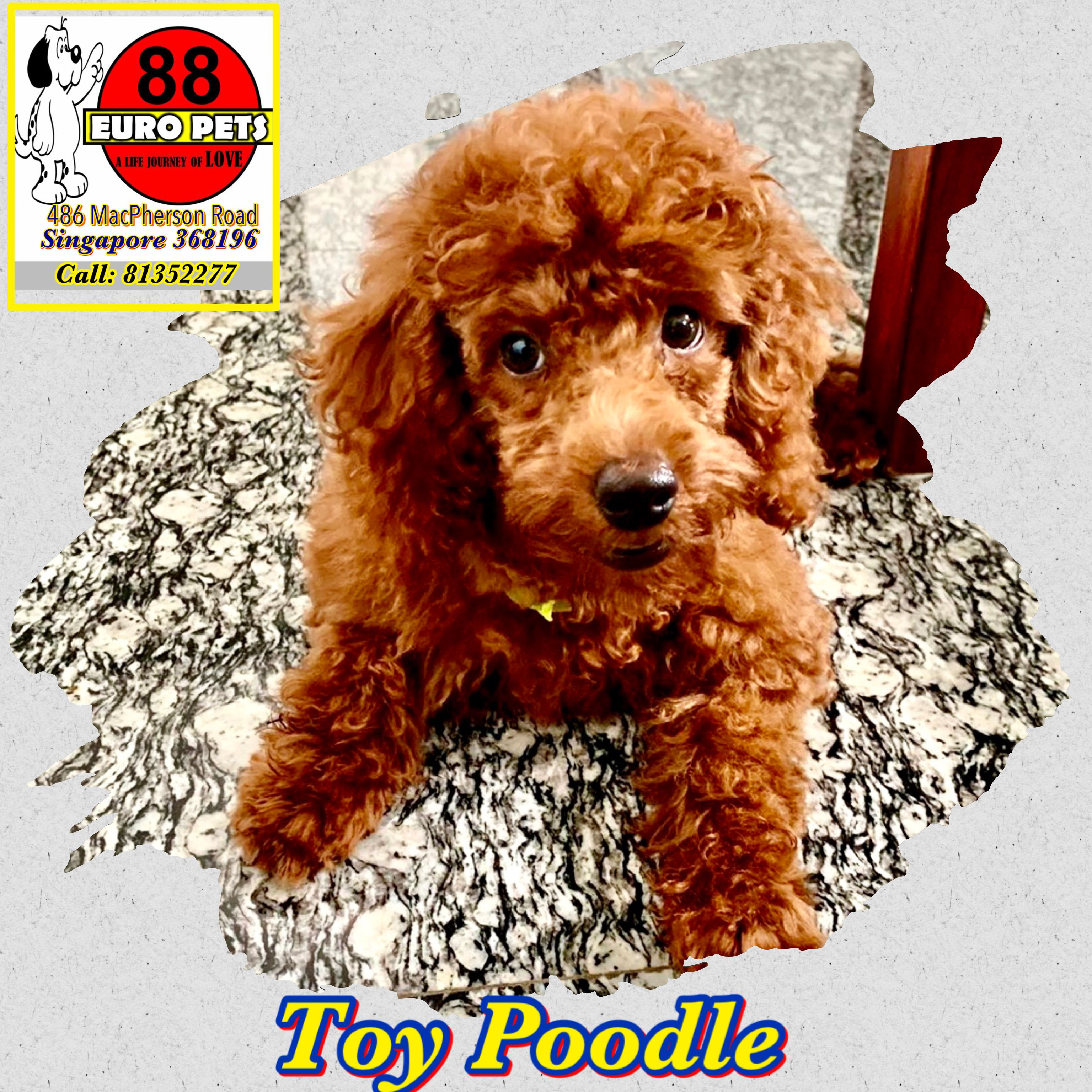 Toy Poodle For Sale Singapore In 2020 Toy Poodles For Sale Toy Poodle Poodle
