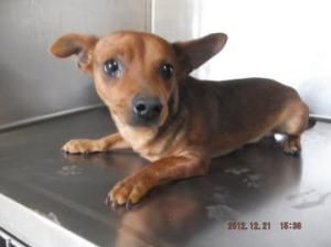 I Need A Forever Home And A Family To Love A18775979 Dachshund