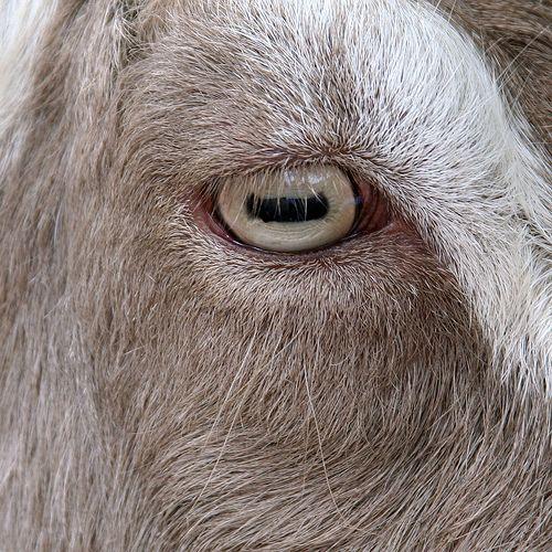137 Goat Eyes Goats Cool Eyes Eye Close Up