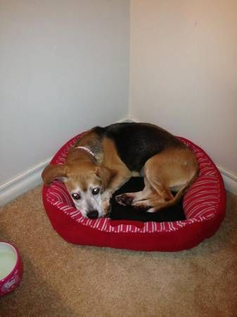 Lost Beagle Sandy Missing From Cherry Hill New Jersey Http