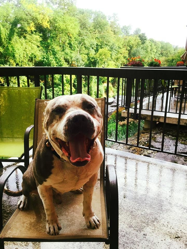 """This """"lovabull"""" four-legged hotel guest enjoyed his balcony overlooking the Cuyahoga River despite the rain!  Pet friendly travel"""