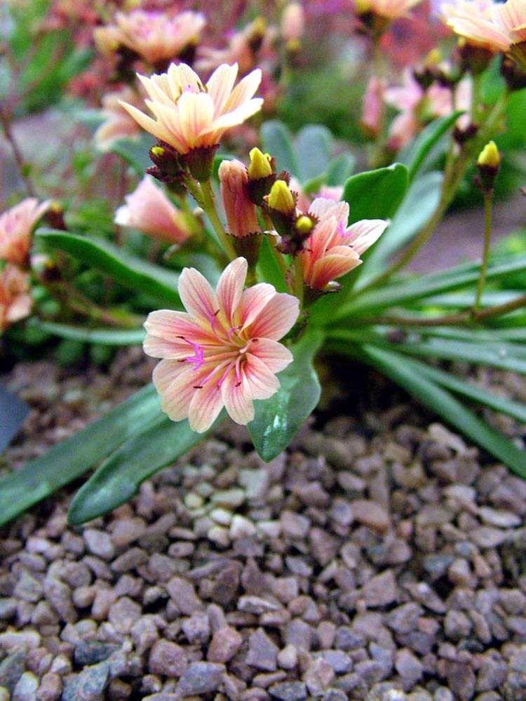 Plante De Rocaille Conseils D Amenagement Du Jardin Et Photos