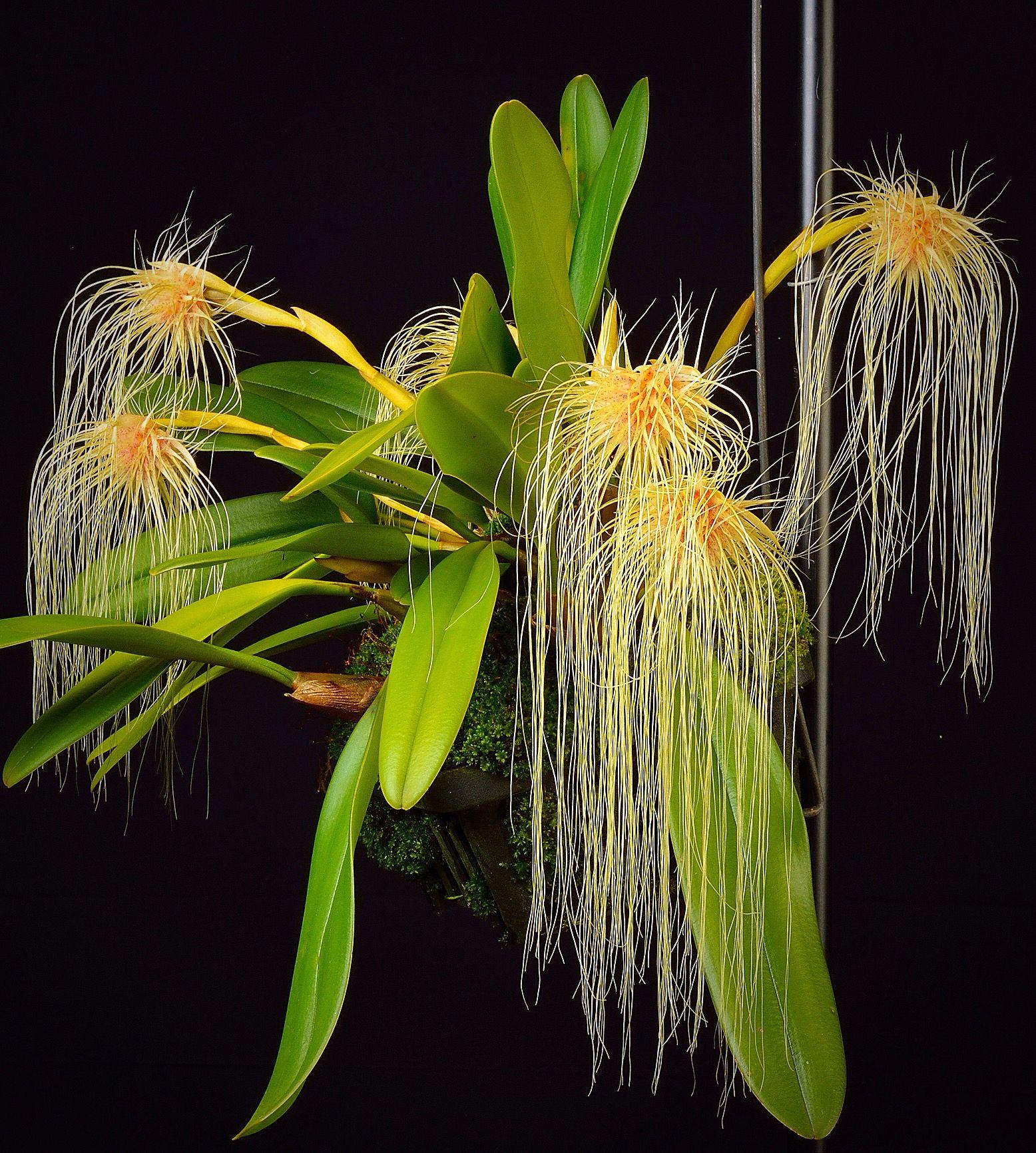 Orchids bulbophyllum pinterest orchid flowers and plants