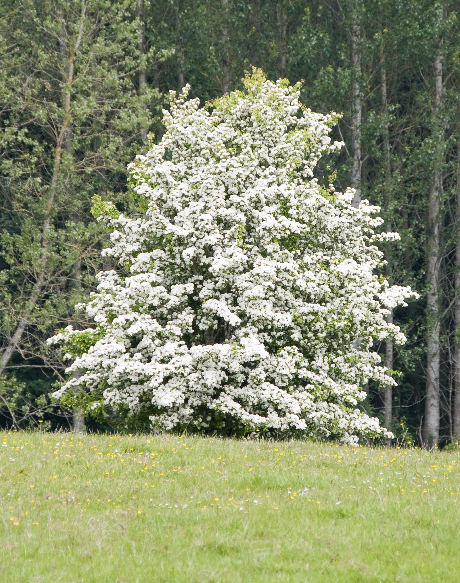 Hawthorn Trees Are A Delight To Have In The Landscape