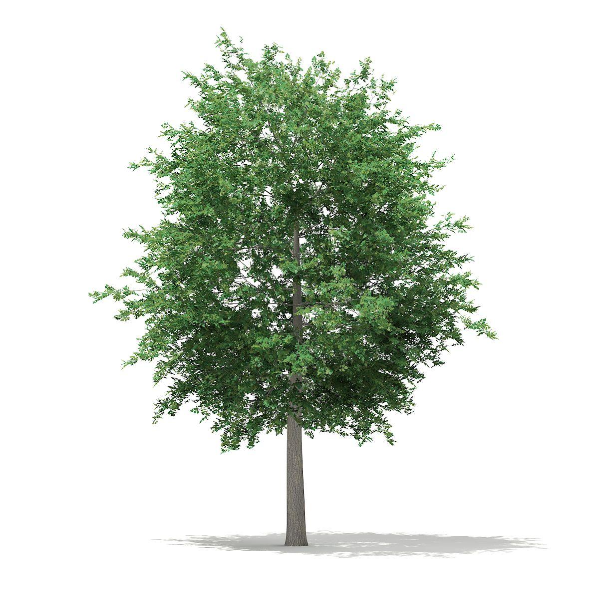 Bigtooth Aspen Populus Grandidentata 12m Tree Photoshop Landscape Sketch Aspen Trees